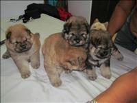 Cão chow chow, pais com pedigree