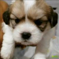 Lindo filhote lhasa apso