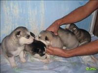 Filhotes de husky siberiano, raça pura.