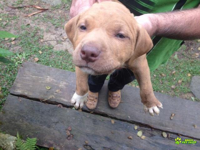 Vende-se lindos filhotes de american pit bull terrier