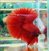 Vendo bettas macho 10,00 fêmea 5,00