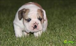 Que um lindo bulldog inglês