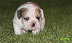 Que um lindo e encantador inglês bulldog