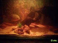 Casal de piranha vermelha - aquario peixes carnivoros
