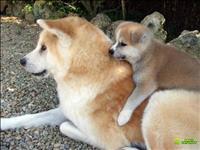 Akita inu ultima femea vermelha pronta entrega os pais tem pedigree