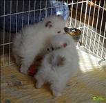 Filhotes fêmeas lulu da pomerânia