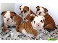 Lindissimos filhotes de bulldog ingles