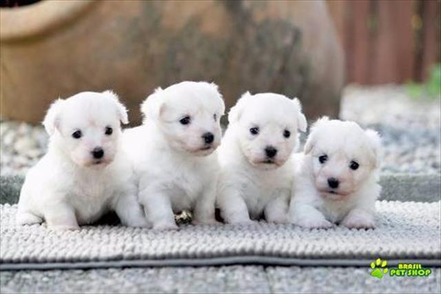 Lindos filhotes de coton de tulear