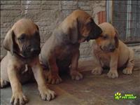 Lindos filhotes de fila brasileiro
