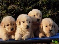 Lindíssimos filhotes de golden retriever