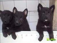 Lindos filhotes de pastor belga