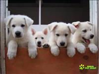 Lindos filhotes de pastor branco