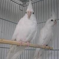 Calopsita albina - Macho e femea