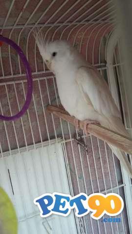 calopsitas albinas