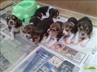 Filhotes super fofos de beagle