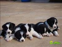 Filhotes super fofos de border collie