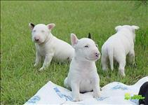 Filhotes super fofos de bull terrier