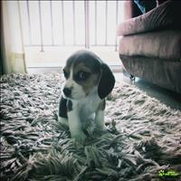 Vendo filhote de beagle tricolor - lindooo urgenteee