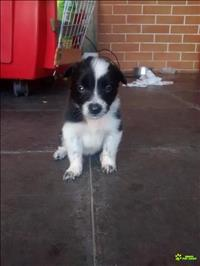 Lindos filhotes de border collie