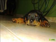 Filhote de rottweiler com pedigree cbkc