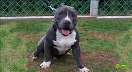 Filhotes American Bully