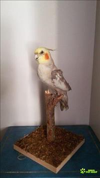 Taxidermia Artística Em Pequenos A Médios Animais (mamíferos, Aves E Répteis)