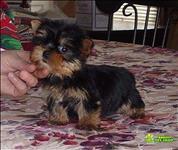 Yorkies Cachorros Terrier Para Adoção