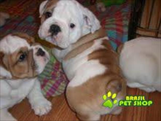 Filhotes Bulldog Inglês Para Livre