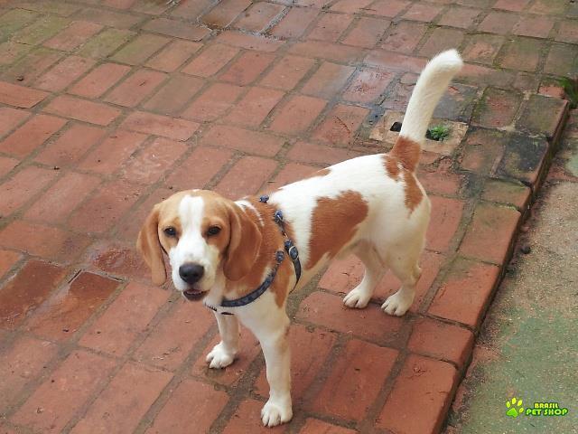 Vendo Filhote De Beagle Com 9 Meses