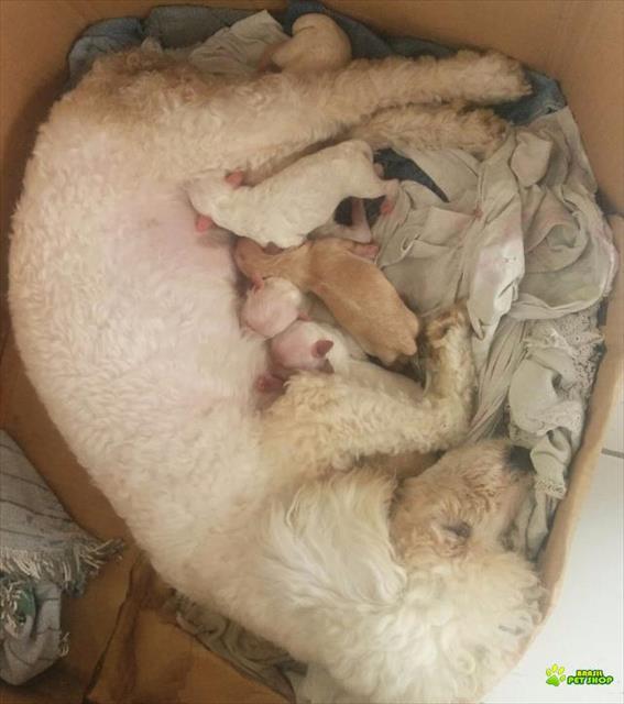 Filhotes De Poodle Roy Tamanho 1
