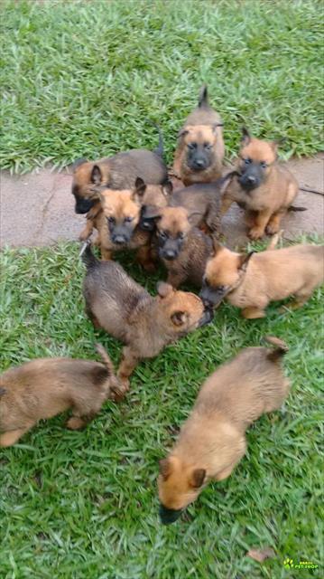 Vendo Filhotes De Cão Pastor Belga Malinoa