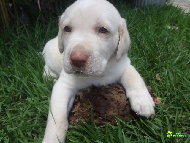 Filhotes Lindos De Labrador Na Vila Madalena