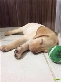 Filhote De Labrador 2 Meses