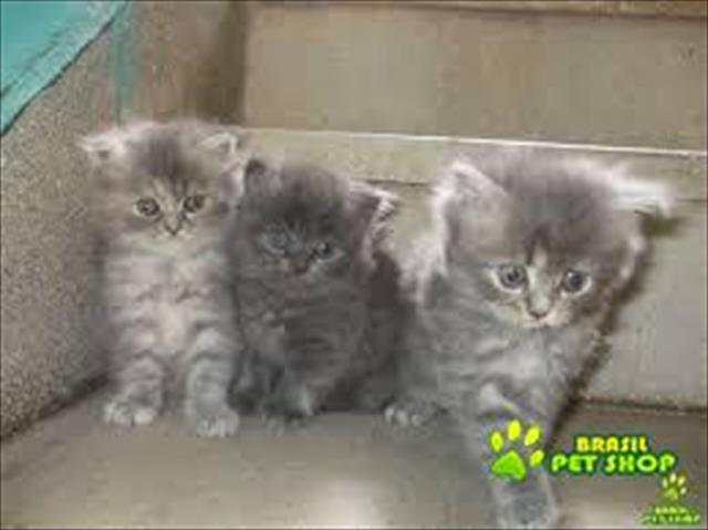 Venda De Filhotes De Gatos Persa