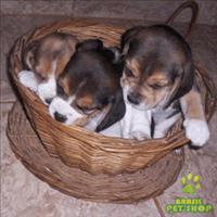 Filhotes  beagles tricolores   13 polegadas femeas