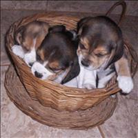 Filhotes  beagles tricolores   13 polegadas machos