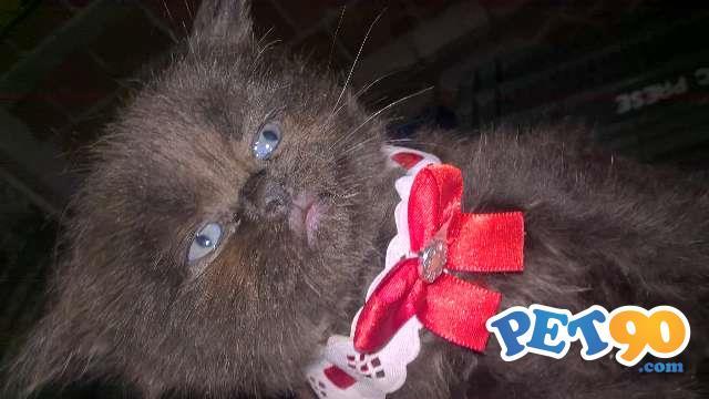 Lindos filhotes de Gato Persa