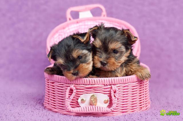 Adoráveis Dois Filhotes De Cachorro De Yorkie Para Novas Casas.