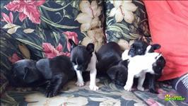 Filhotes Femeas De Bulldog Francês Exóticas