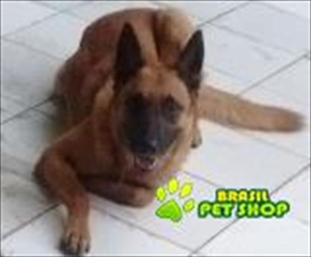 Pastor Malinois - O Melhor Cão De Guarda!