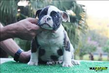 Filhotes De Olde English Bulldogge