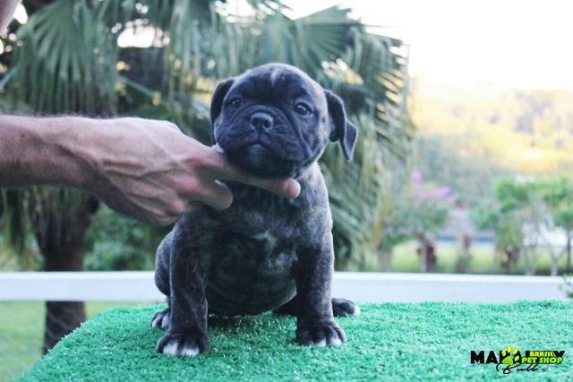 Filhote De Olde English Bulldogge - Fêmea