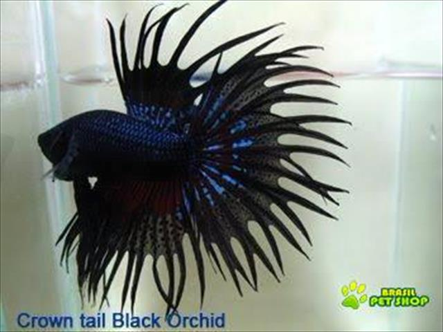Betta Macho