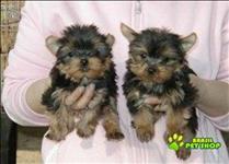 Cachorrinhos De Yorkie Adorável Para Adoção Livre