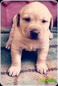 Vende-se Filhotes De Labrador