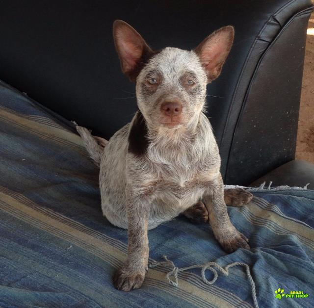 Burriler -  Cão Boiadeiro Australiano.