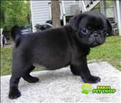 Pug Fêmea Para Adopção