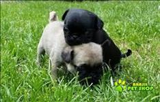 Pug Mini Abricot Macho Com Pedigree Para Adopção