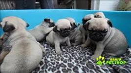 Pug Pedigree/vacina/ Para Adopção