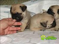 Linda Fêmea De Pug Abricot Com Pedigree Para Adopção